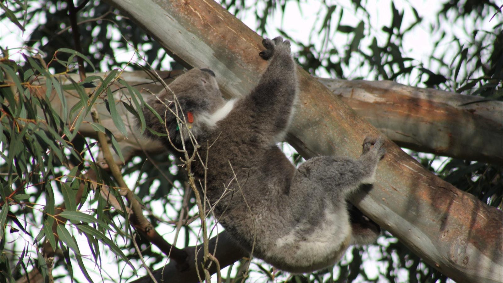 Koala are abundant along the Great Ocean Road
