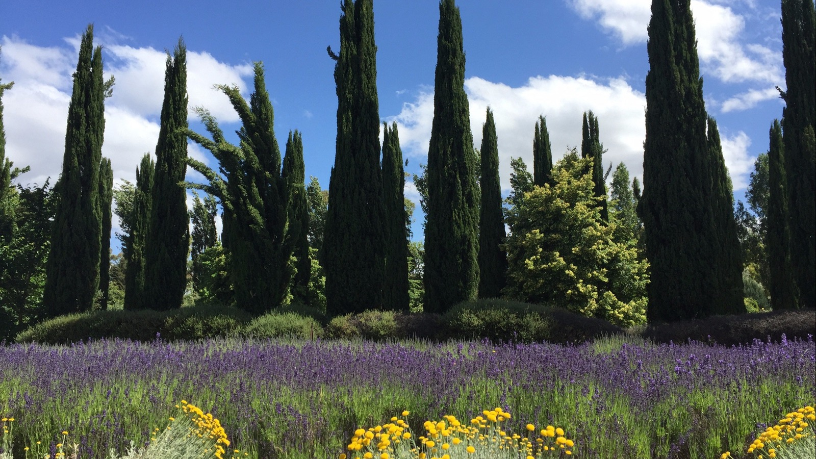 Fields of lavender, flowers and pines with blue skies