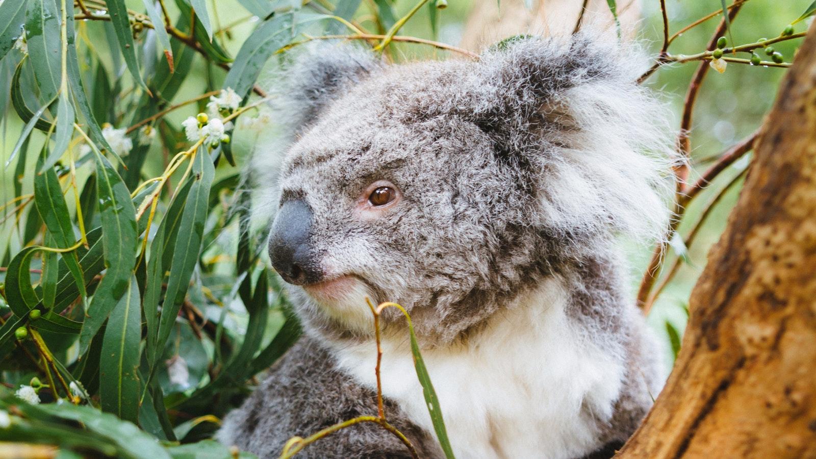 Koala Wildlife Yarra Valley Private Tour Healesville Sanctuary