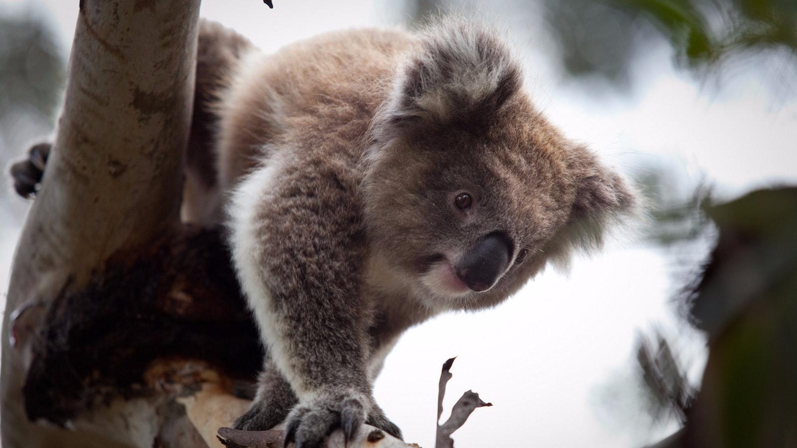Phillip Island Koala Luxury Private Tour