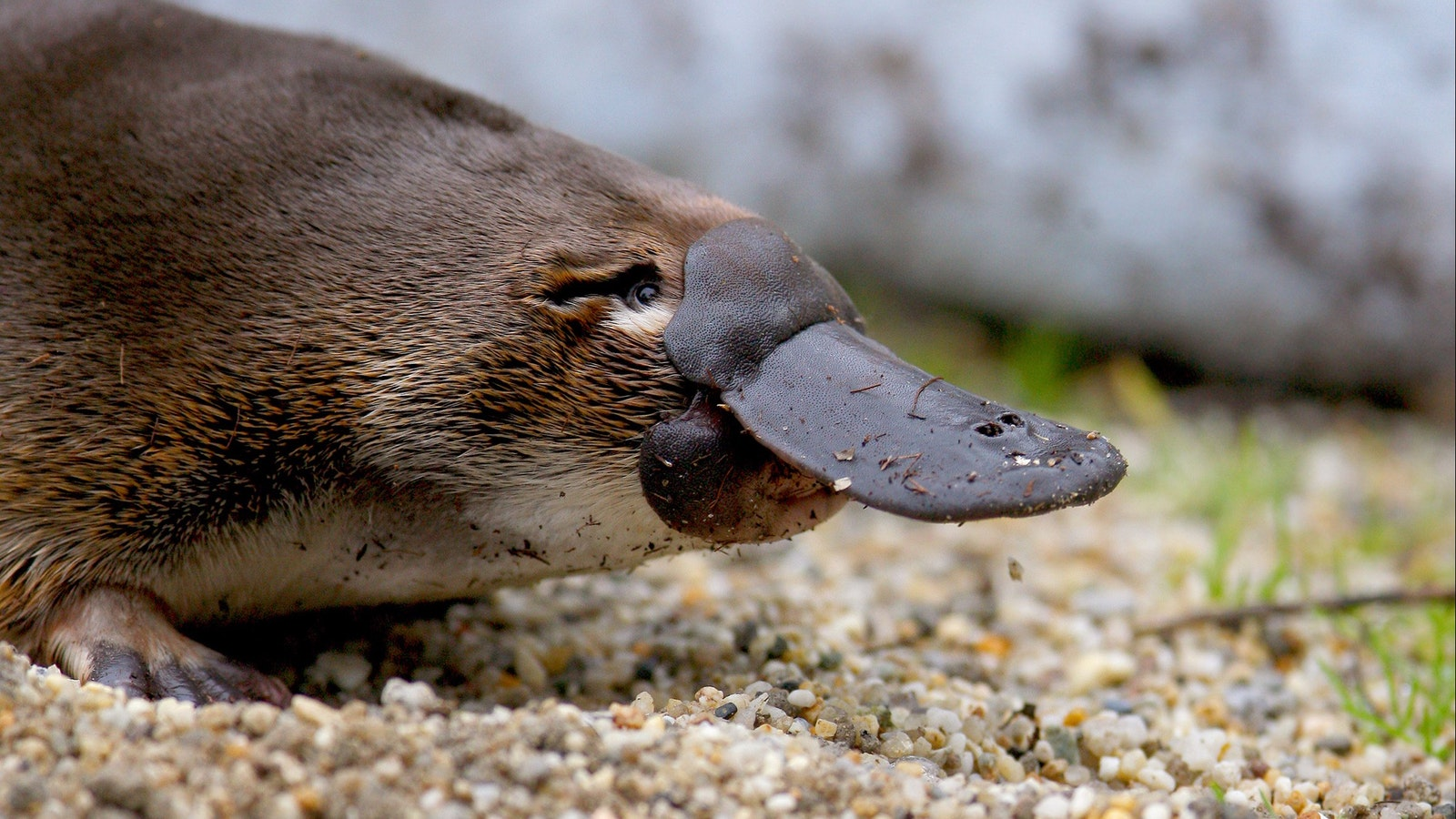 Millsom the platypus - adopted by Oceania Tours at Healesville Sanctuary