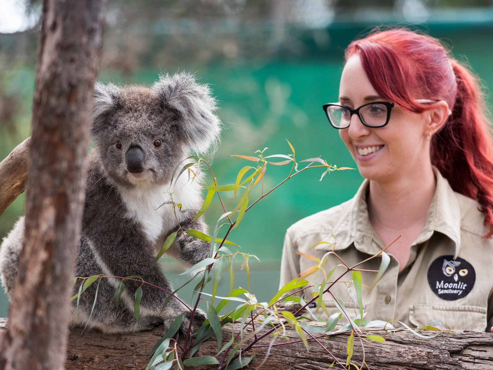 Koala Wildlife Mornington Peninsula Luxury Tour