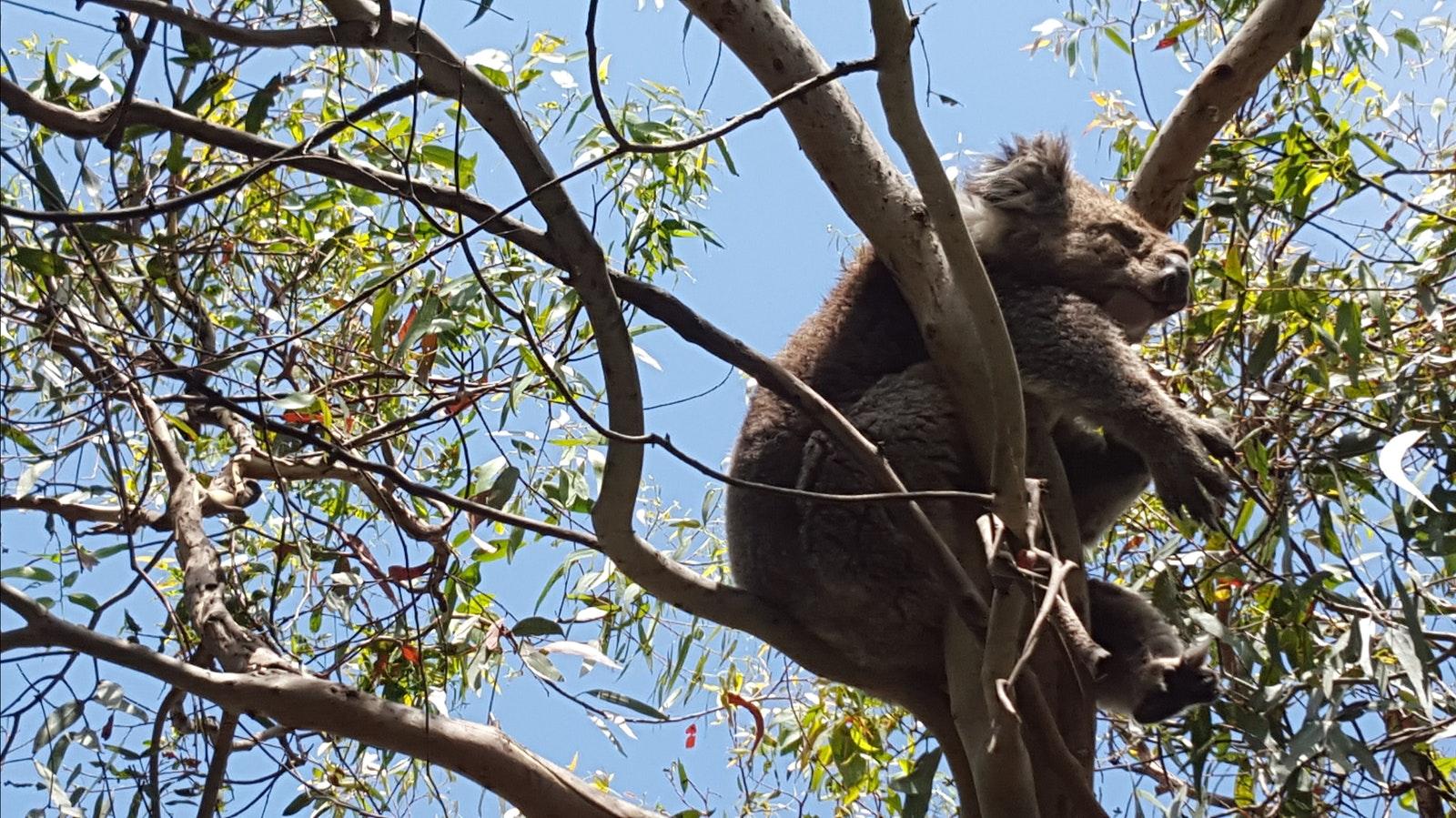 Koala at Kennett River - Great Ocean Road