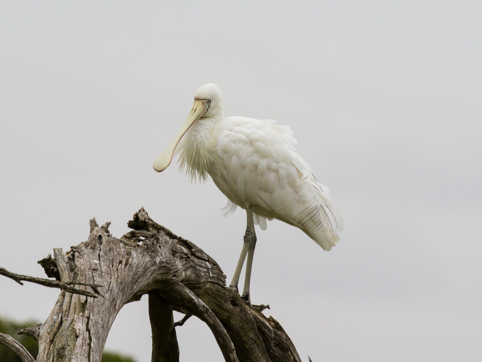 Yellow Spoonbill