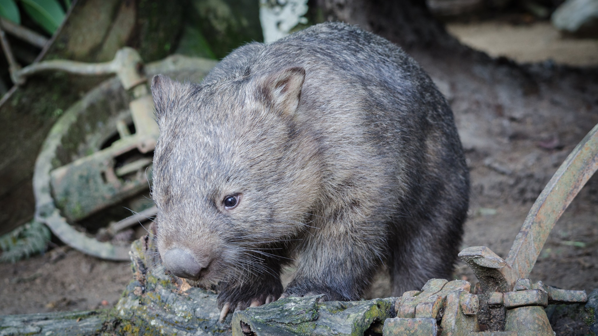 Southern Hairy Nosed Wombat at Moonlit Sanctuary