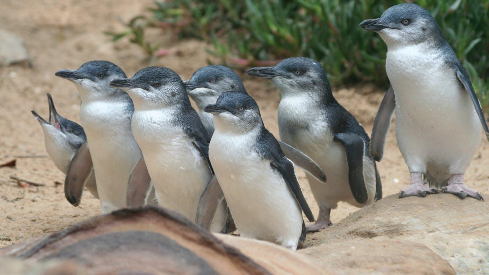 Enjoy the inspiring Penguin Parade at Phillip Island Nature Parks