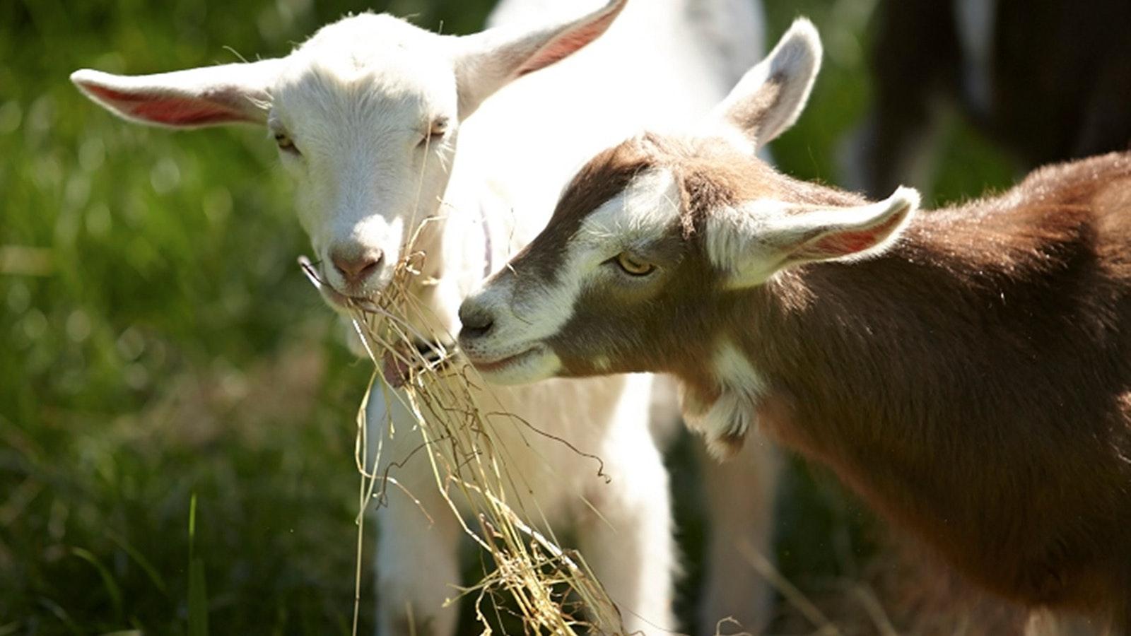 Enjoy some local produce from Main Ridge Goat Dairy, Mornington Peninsula Scenic Wine Tour