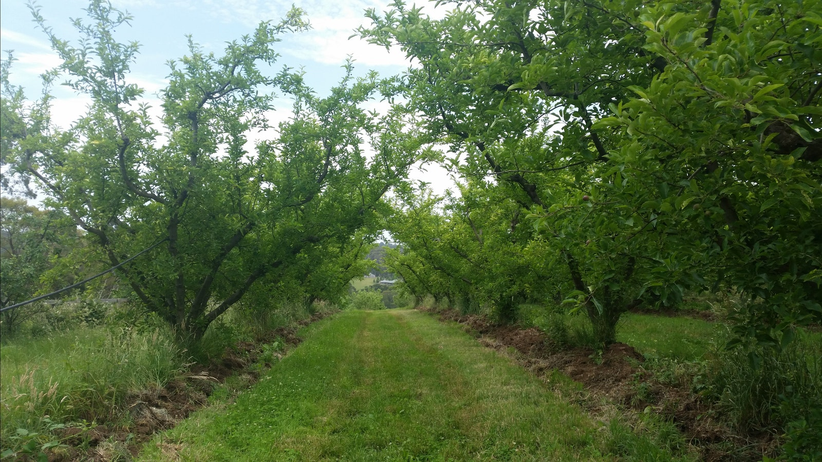 Apple Orchards - Mock Red Hill Cidery