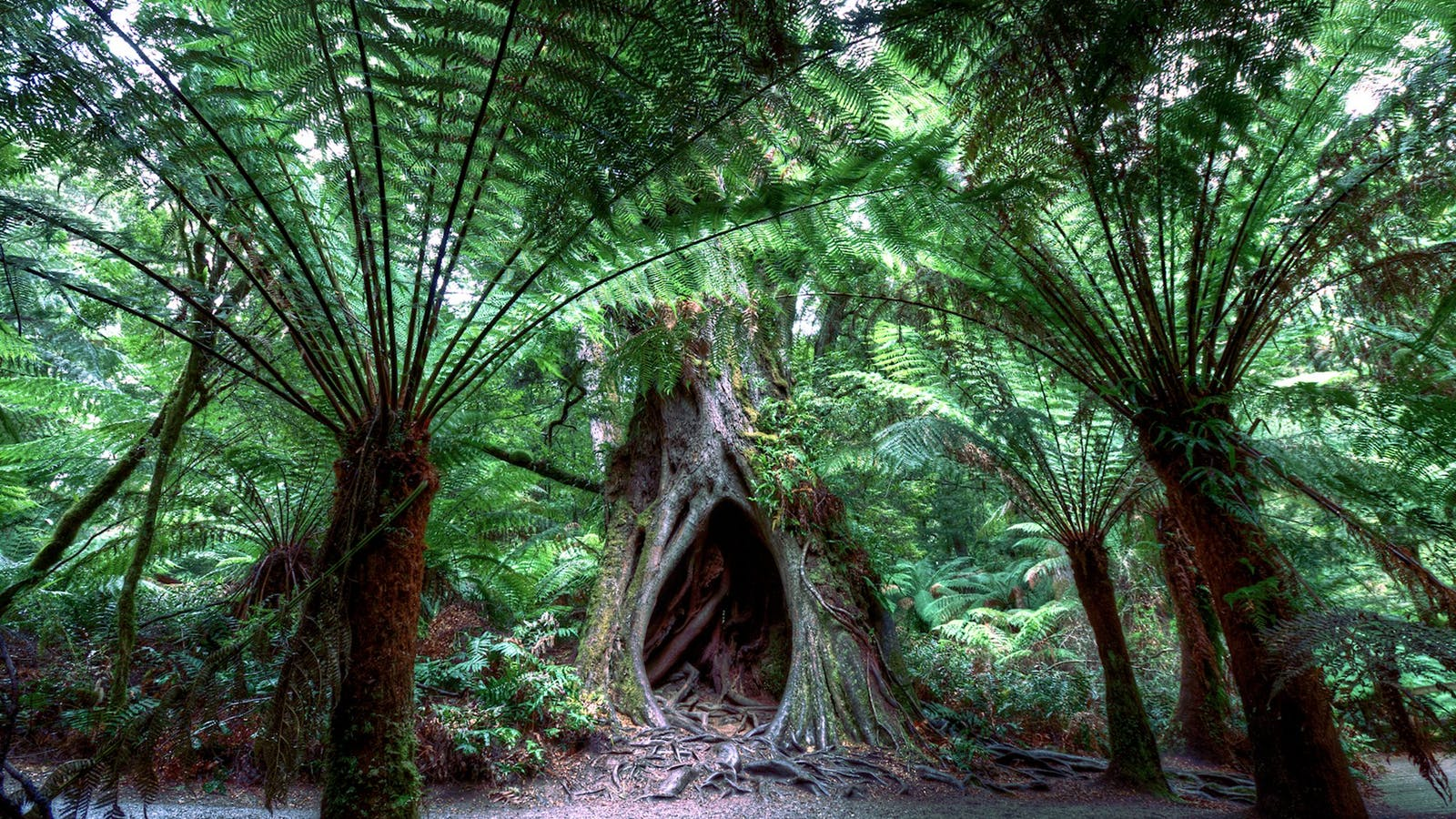 Explore the pristine Otway Rainforest on the Great Ocean Road