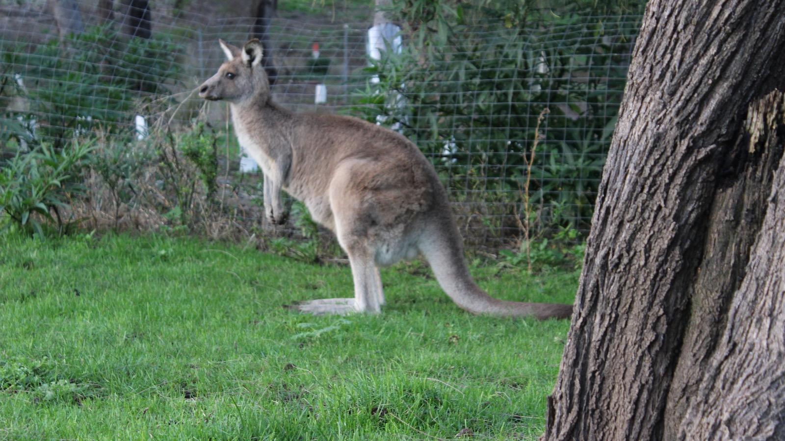 Friendly Local - Eastern grey Kangaroo Grampians