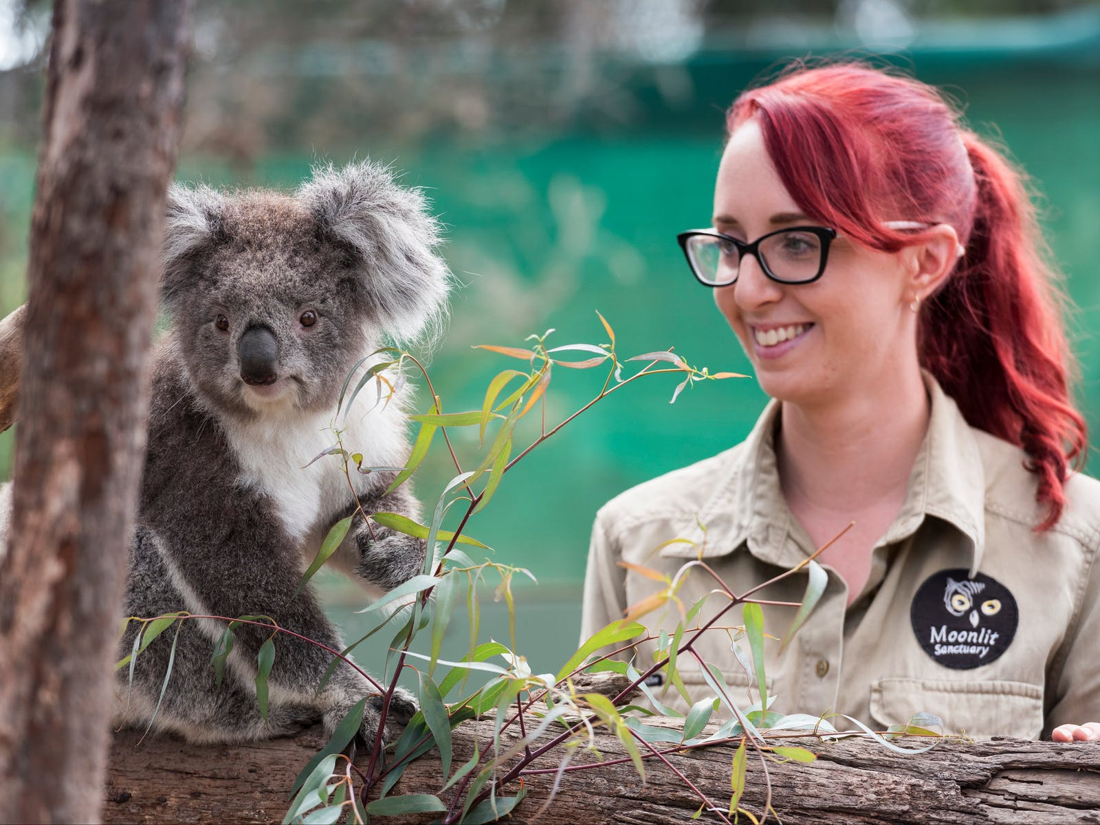 Close encounters with the Australian Koala at Moonlit Sanctuary, Mornington Peninsula