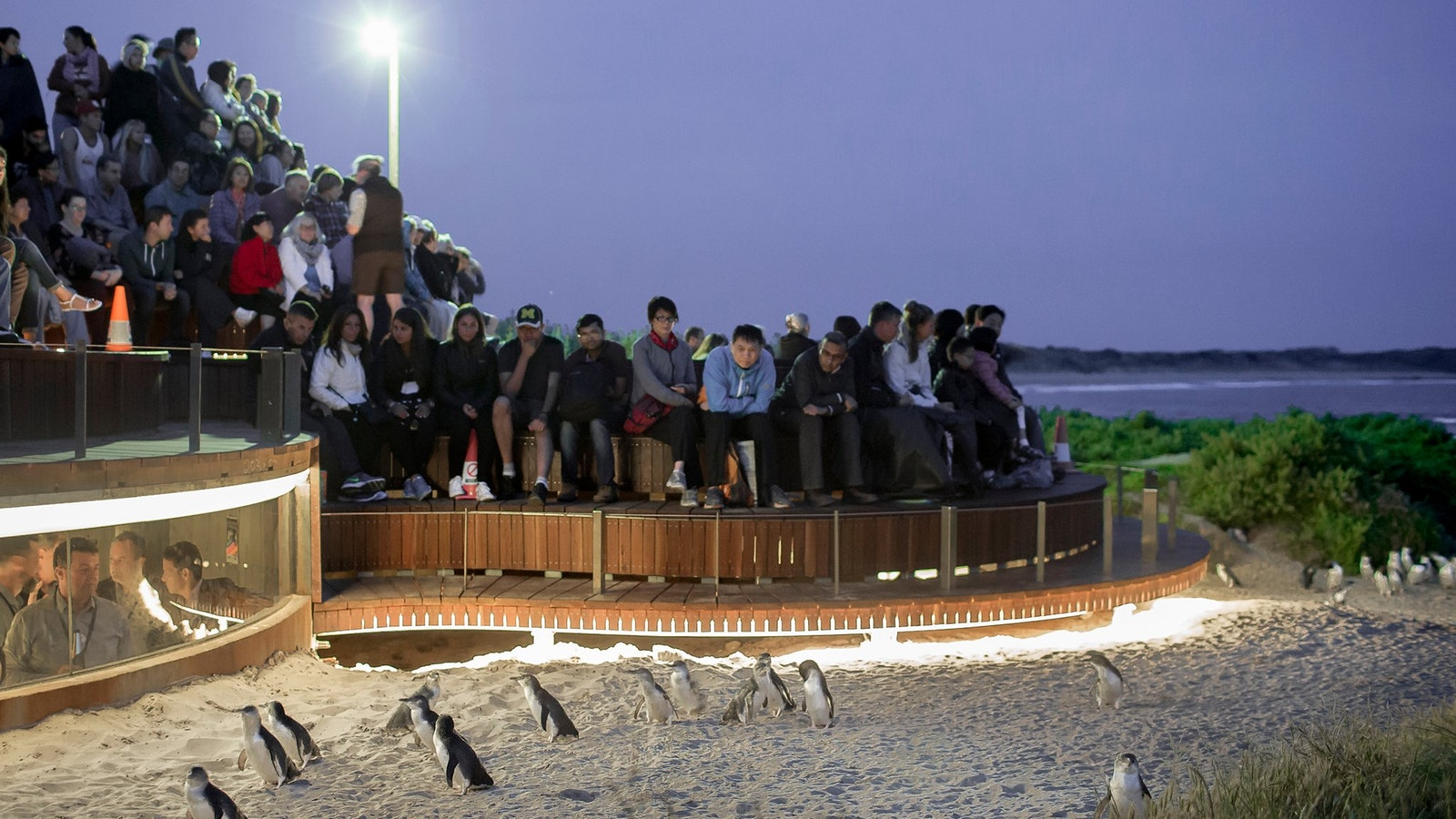 Take advantage of the exclusive upgrade viewing platform at Phillip Island Penguins Parade only $30