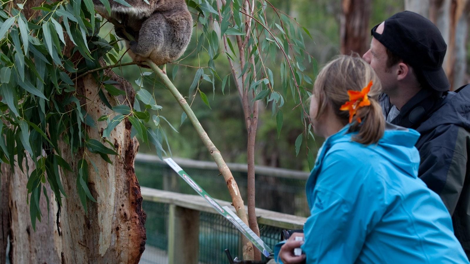 Viewing Koalas at the Koala Conservation Centre