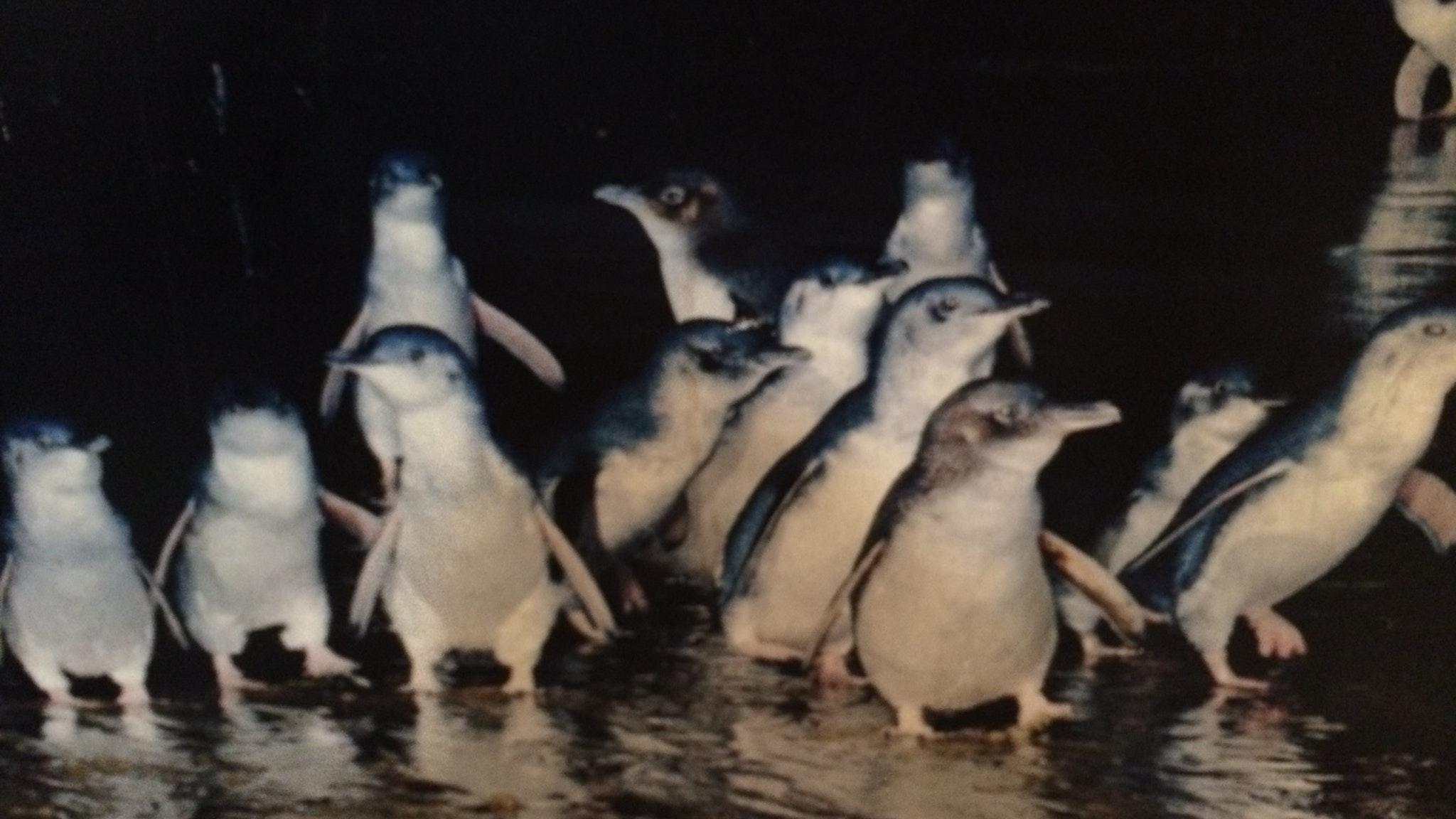 Penguin Parade private tour.