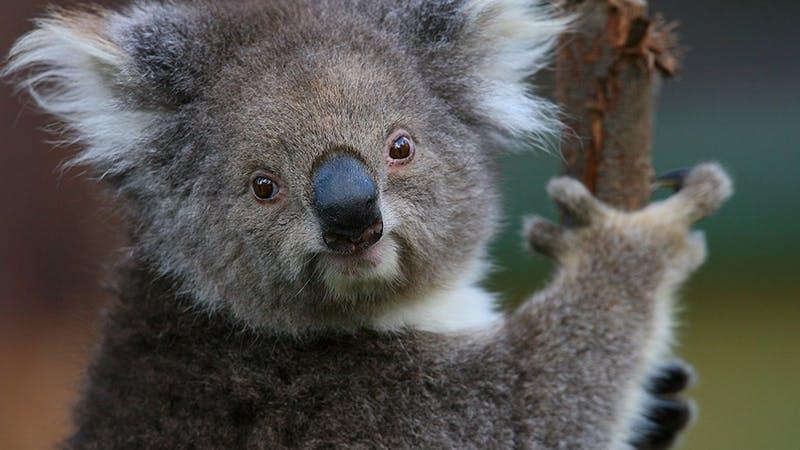 Healesville Sanctuary Koala