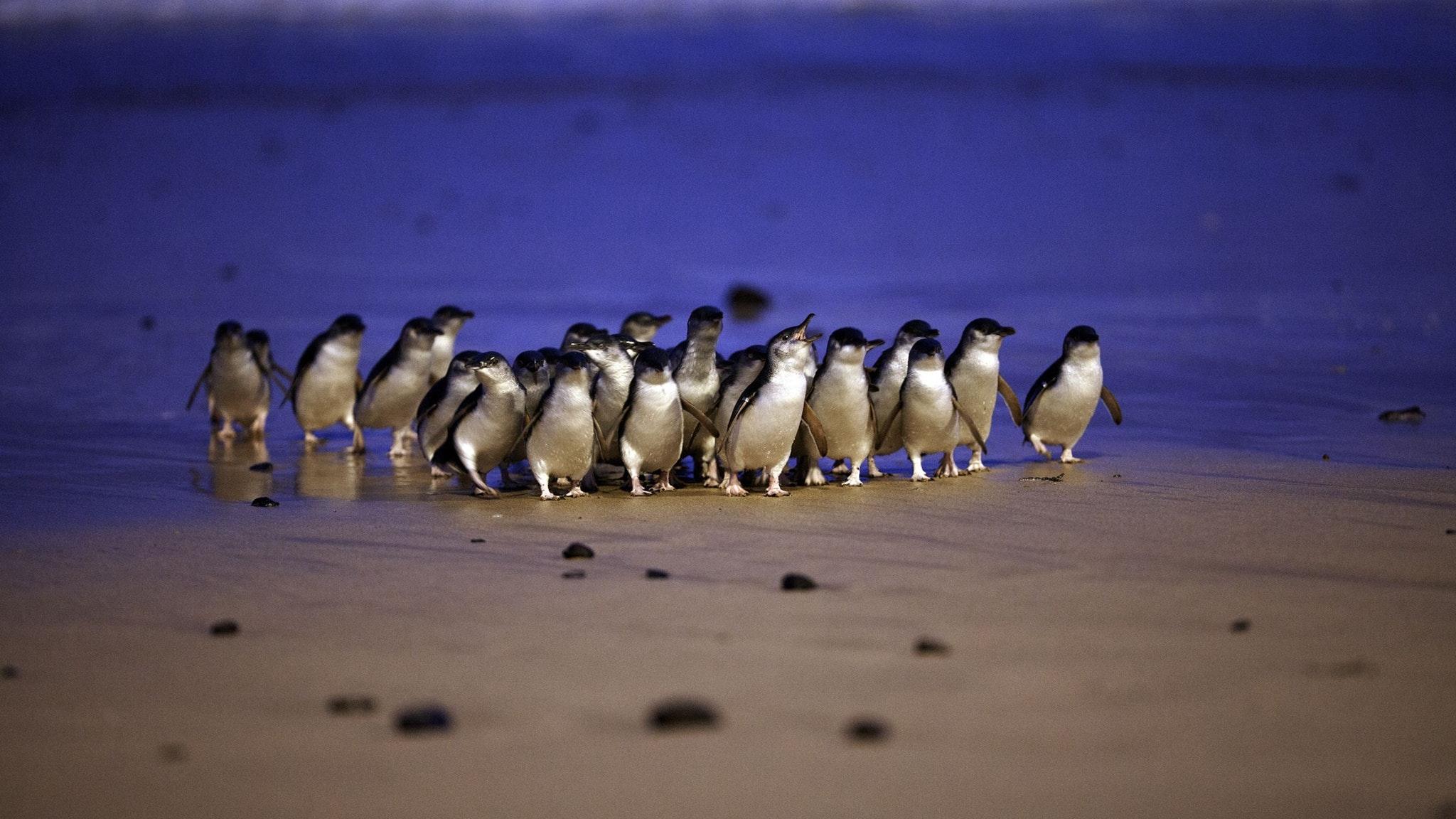 Penguin Parade day trip