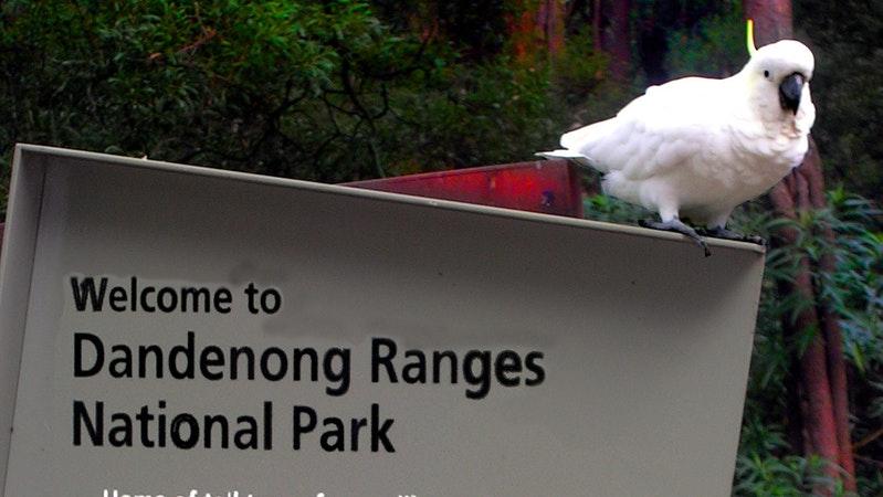 Birdlife photography sights Mt Dandenong
