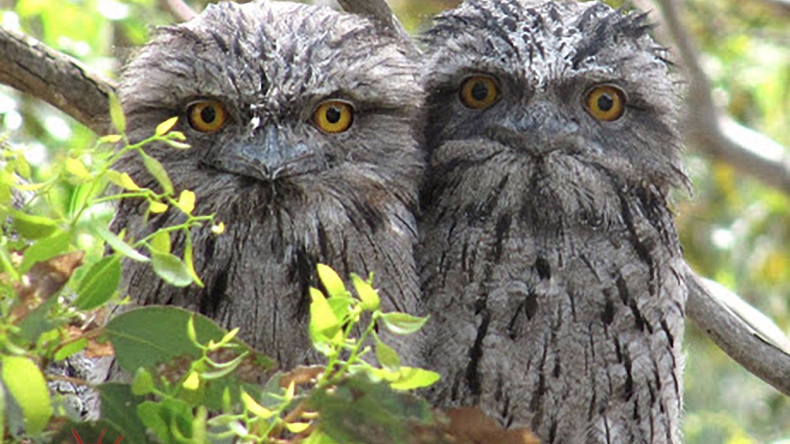 Tawny Frogmouth Couple - Great Ocean Road
