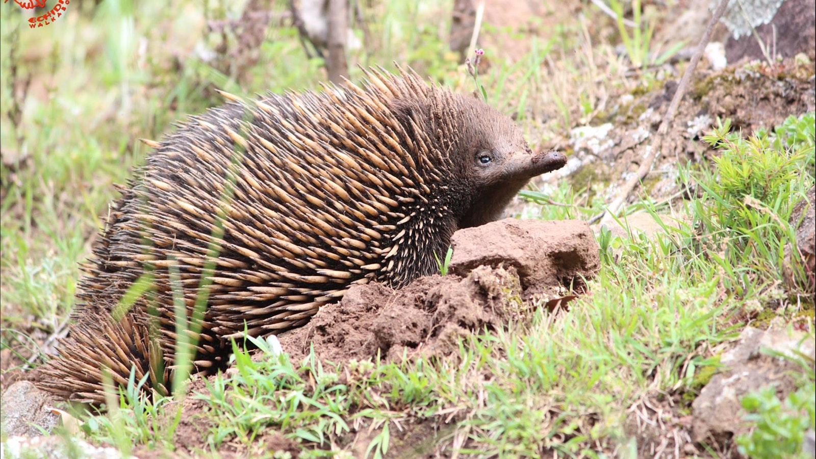 Wildlife - Echidna Walkabout