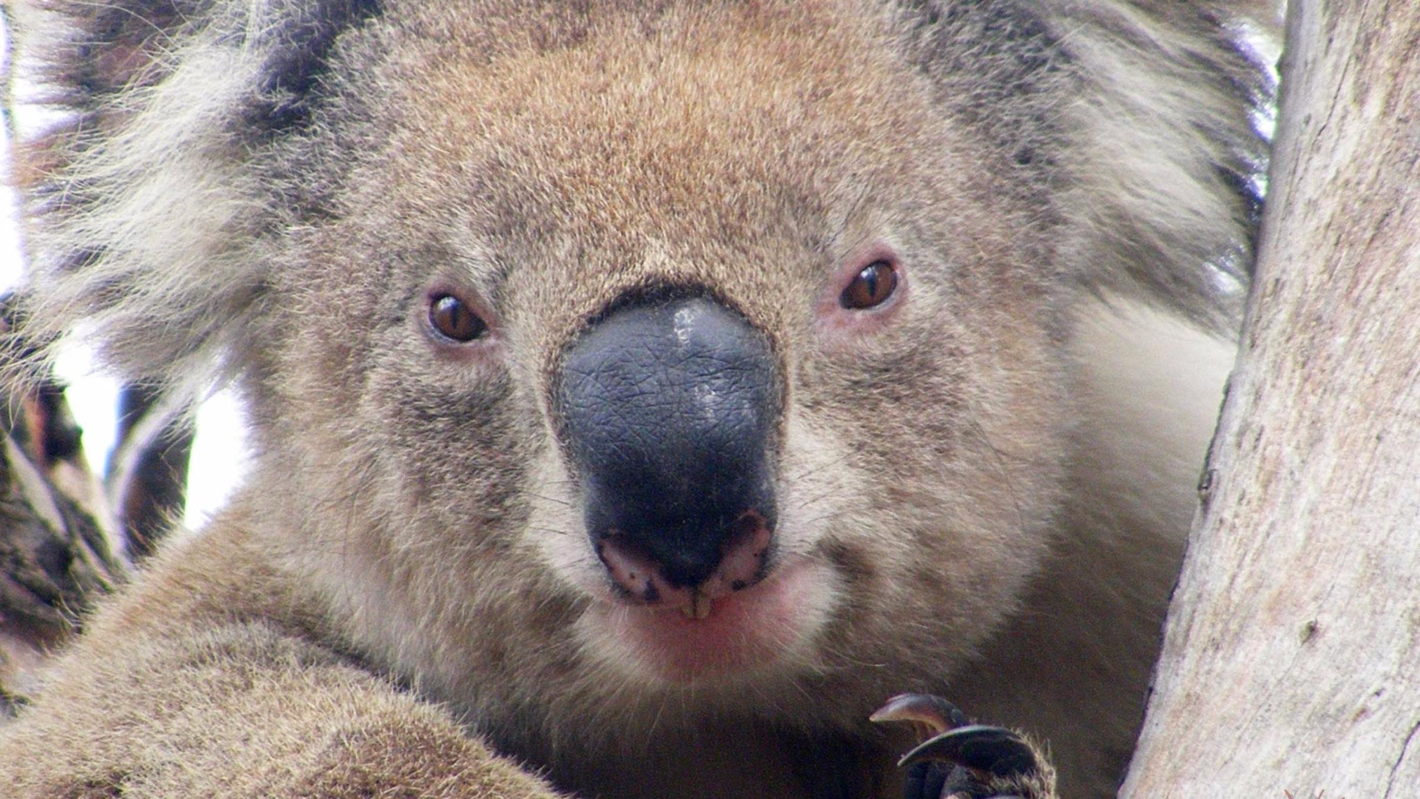 Koala Clancy - Echidna Walkabout