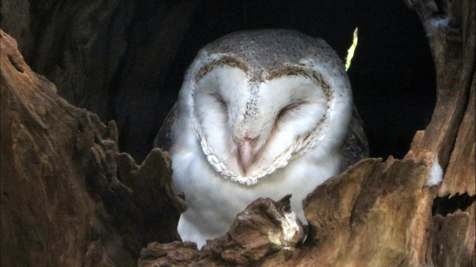 Owl at Healesville Sanctuary