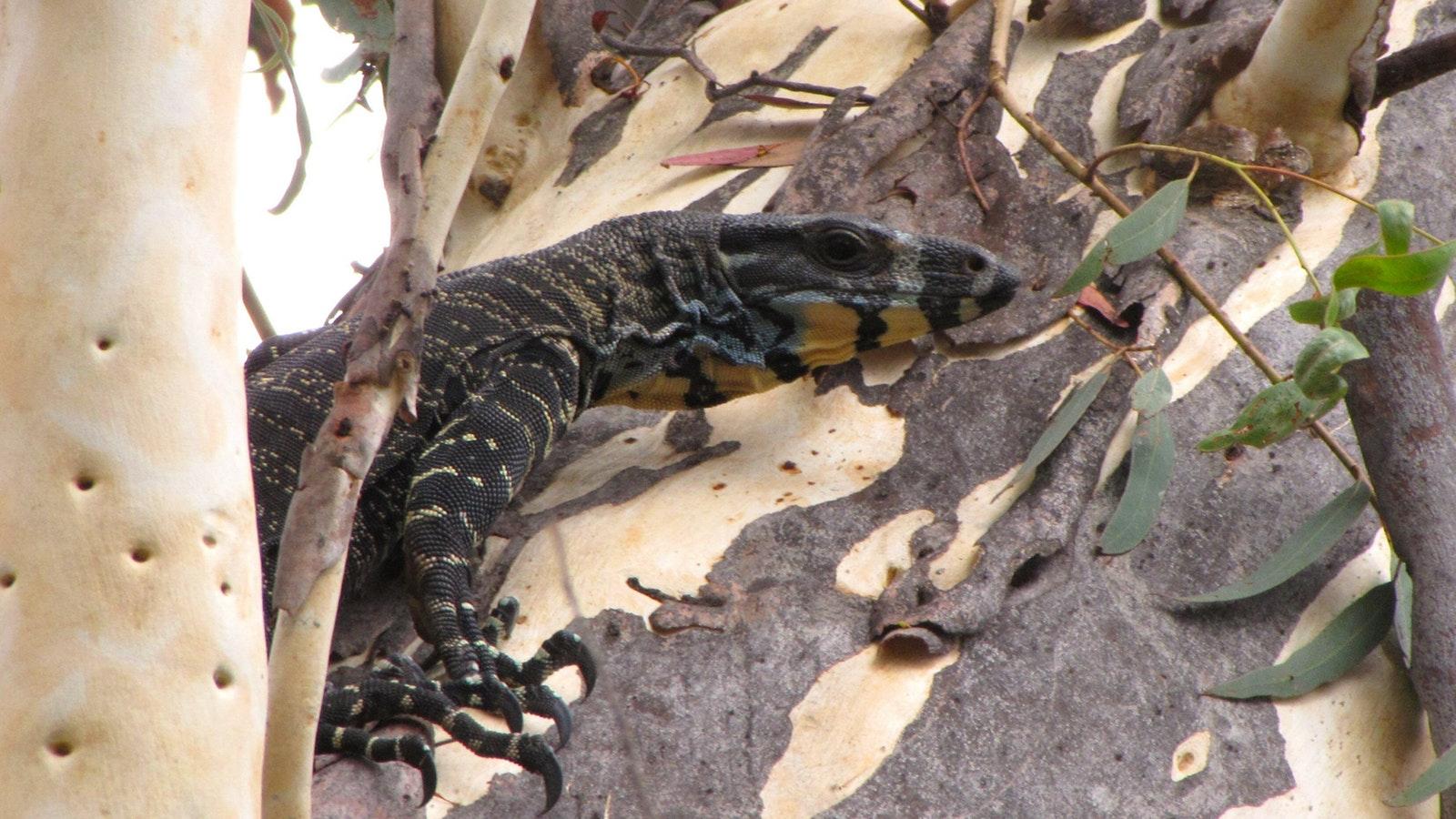 wild Goanna (Lace Monitor)