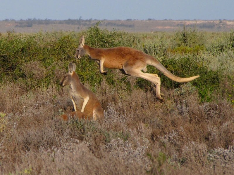 A spectacular leap from a male Red Kangaroo at Mungo.