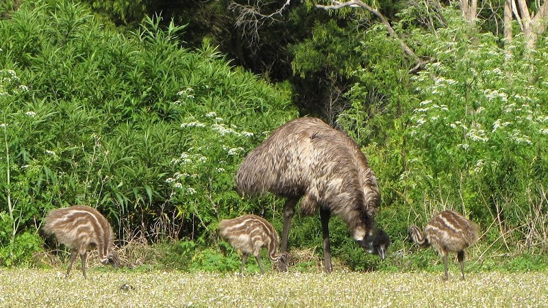 Emu and his Chicks