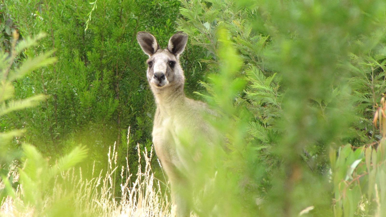 big wild male kangaroo