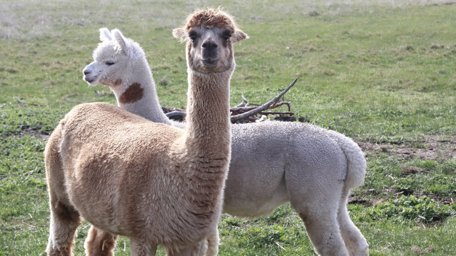 Many farms have an alpaca or two to protect their sheep
