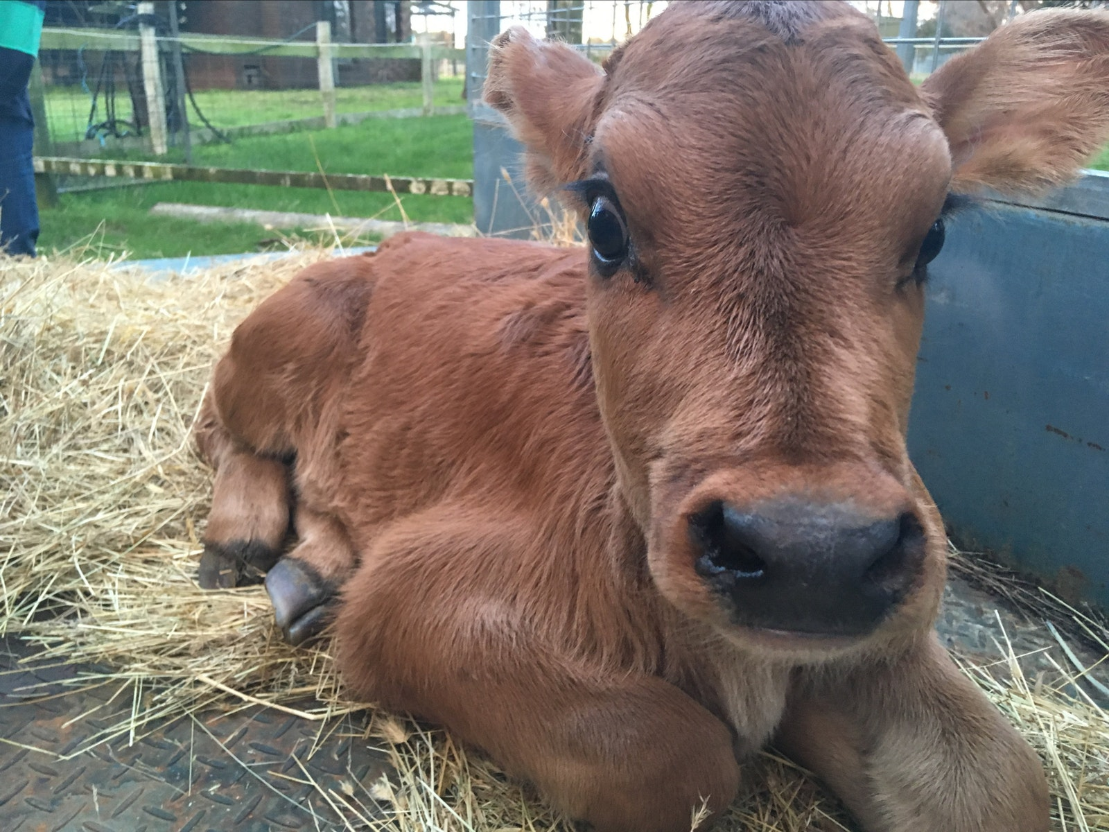 Chesnut, the Jersey cow that you can meet on our tour