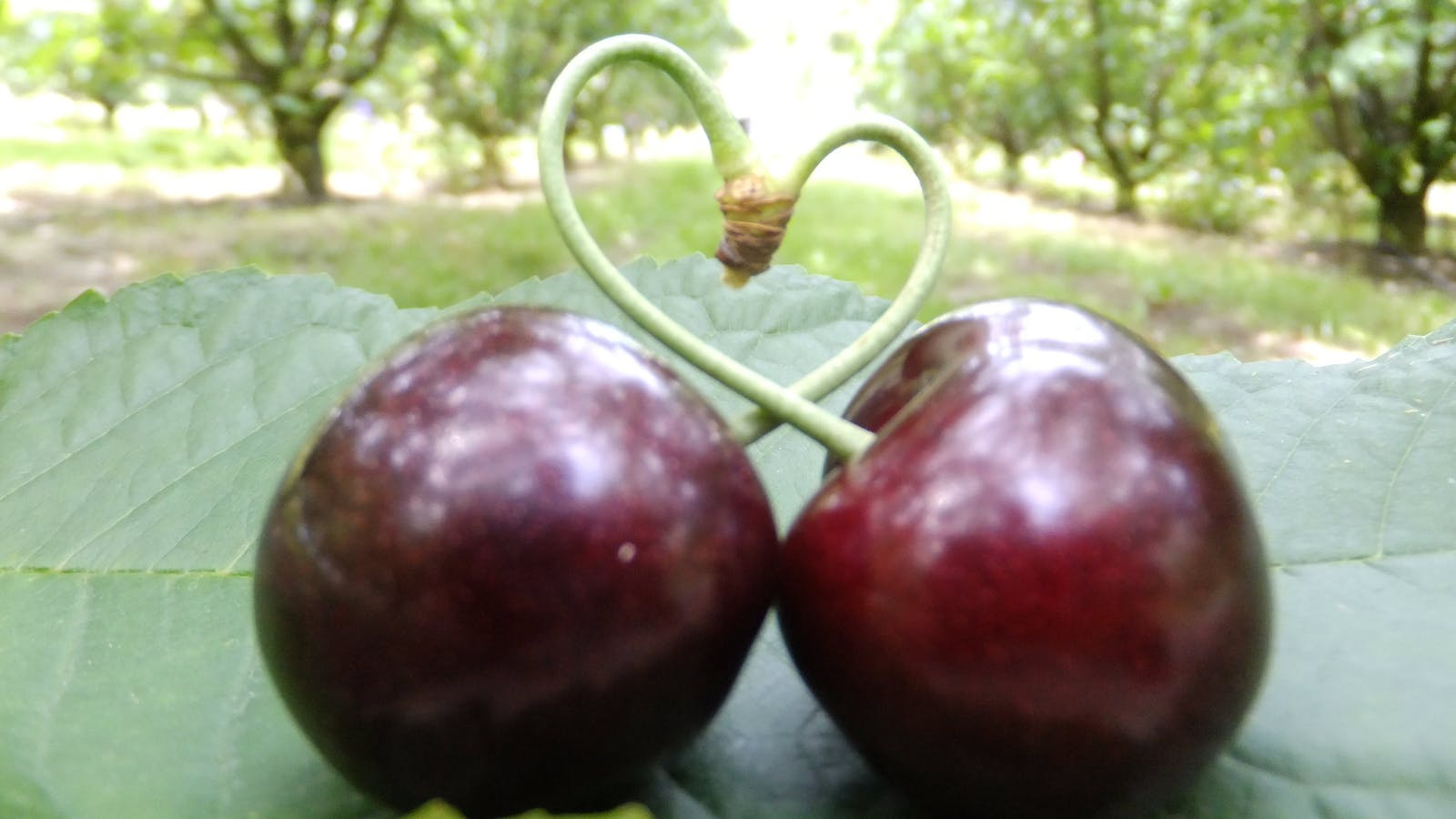 Red Hill Cherry Farm