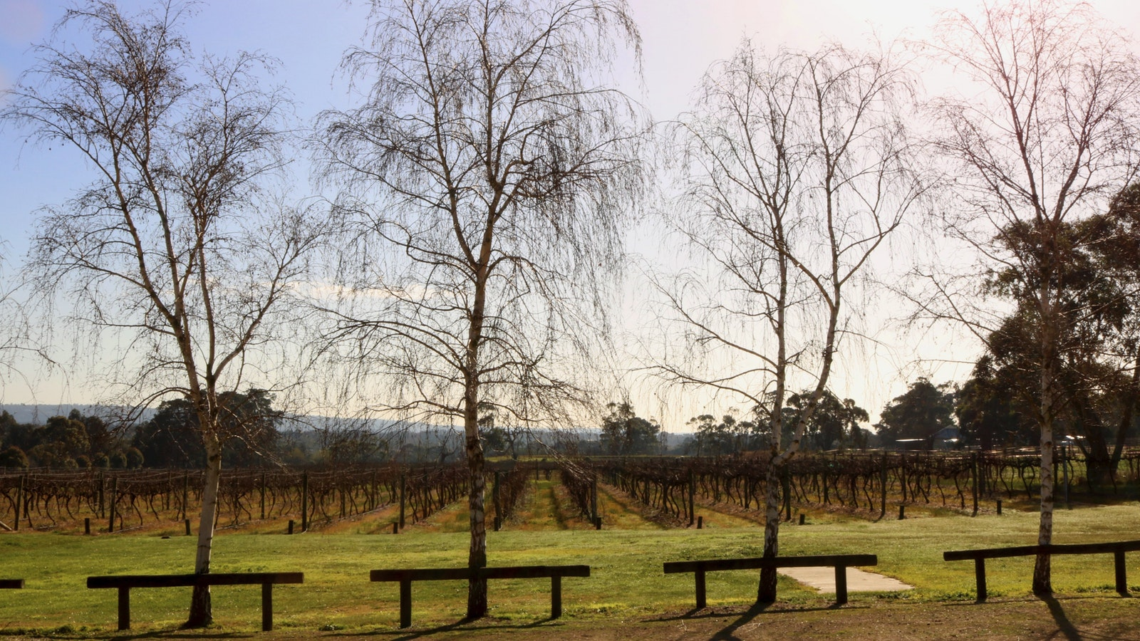 Winter vineyard with Beech trees