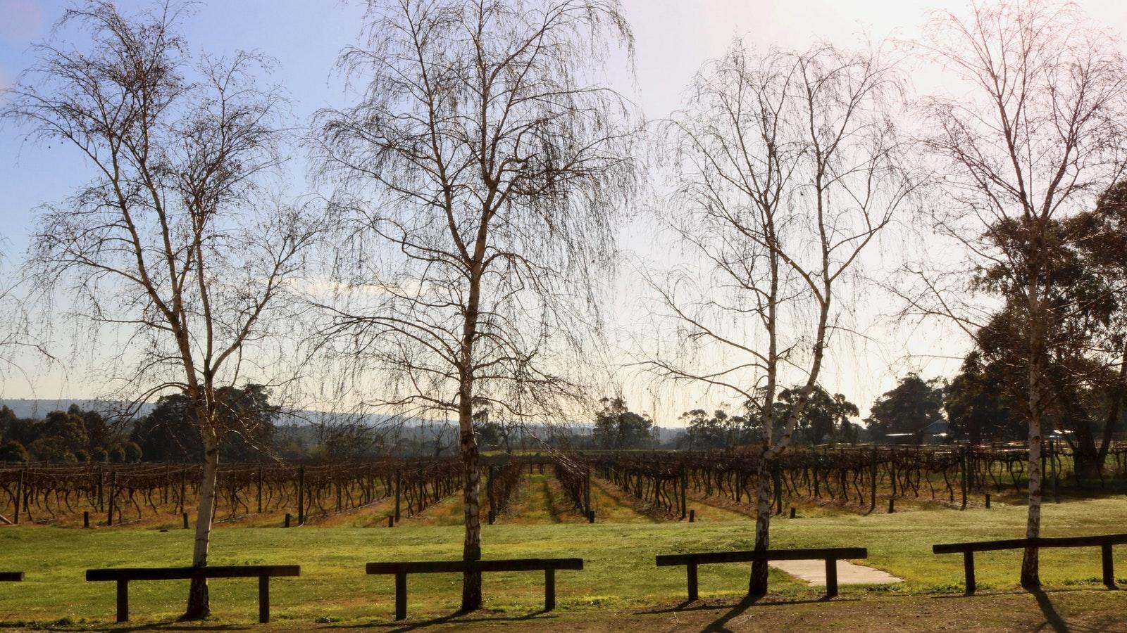 Winter vineyard with Beech trees