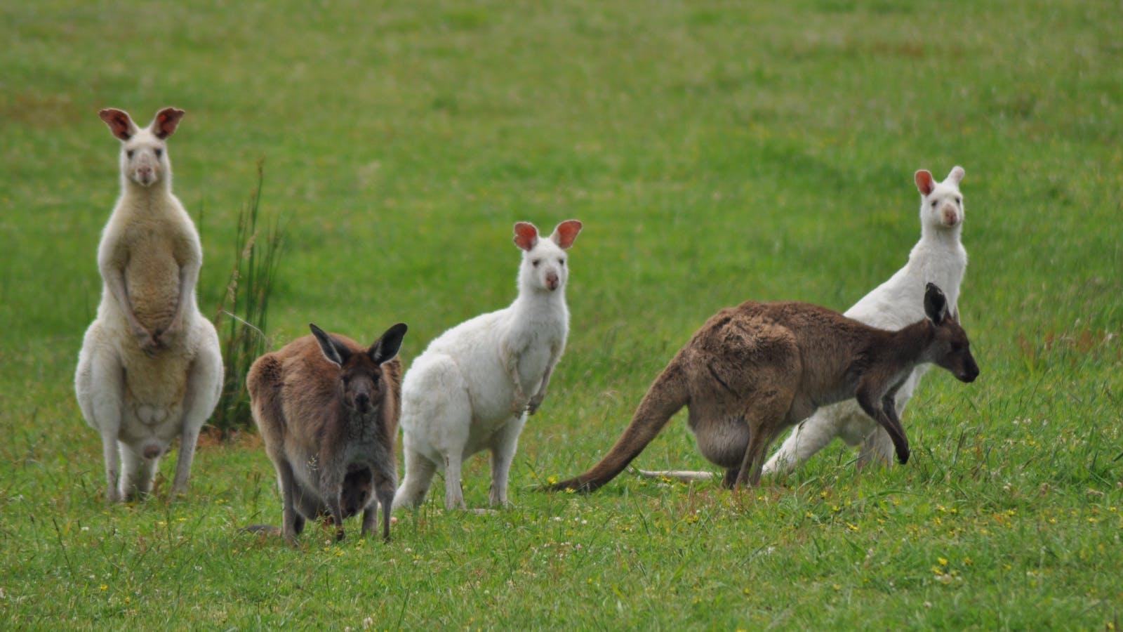 Some of our kangaroos.