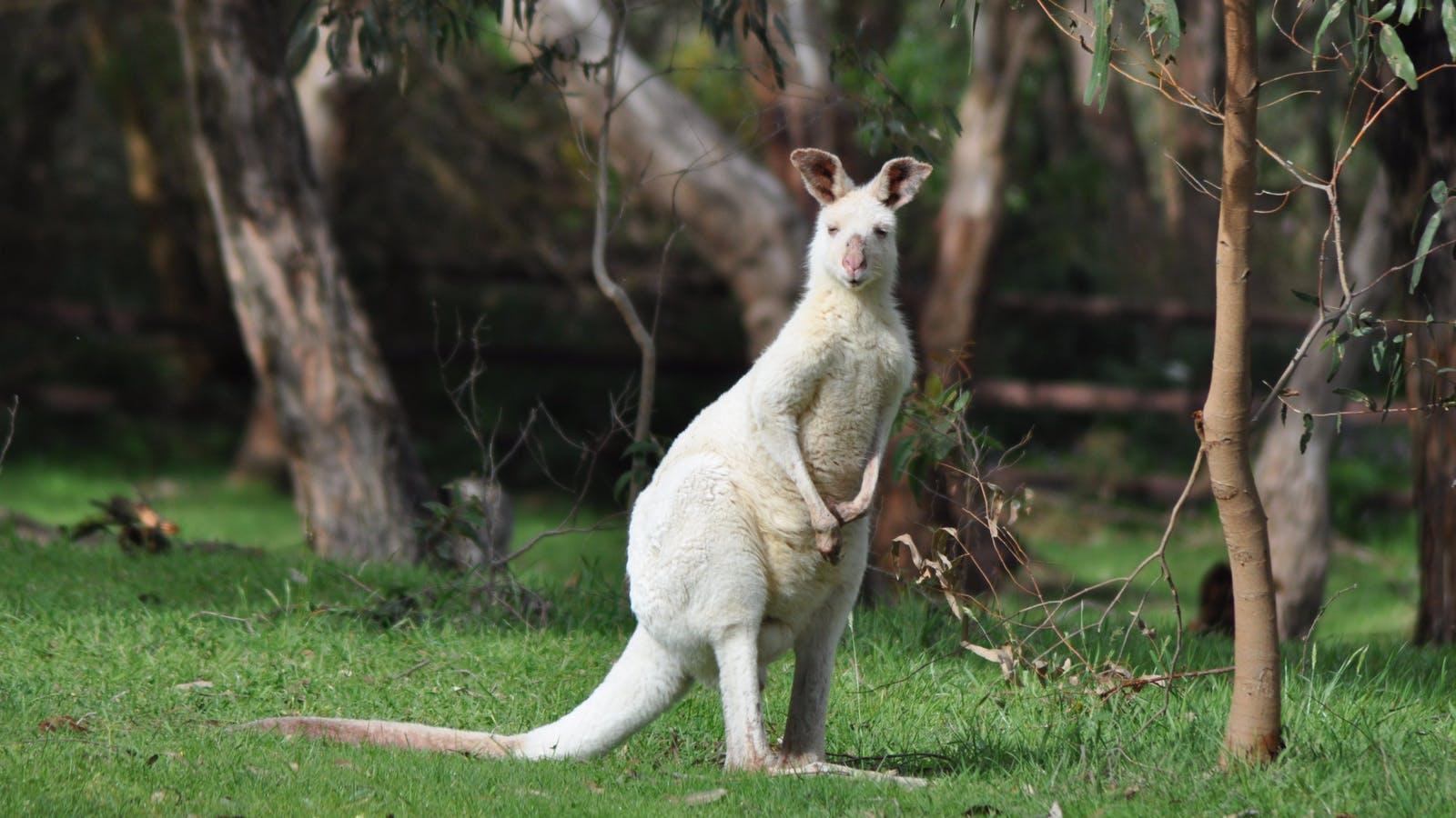 One of our 6 white kangaroos.