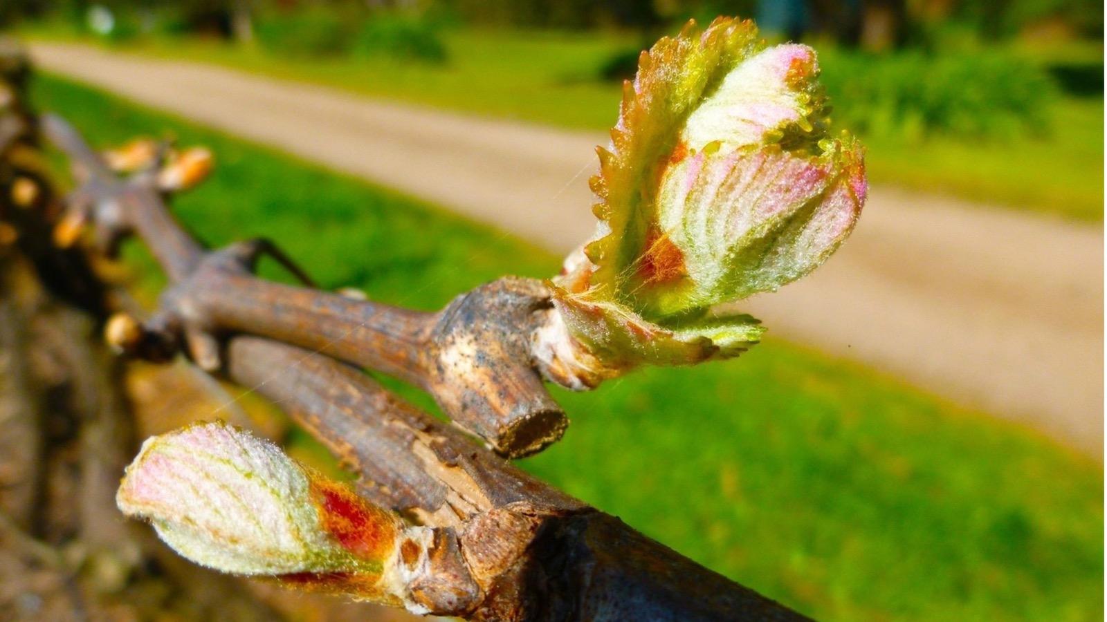 A biodynamic vineyard - no herbicides or pesticides produce healthy vines