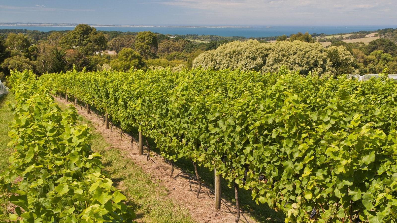 Red Hill estate vines