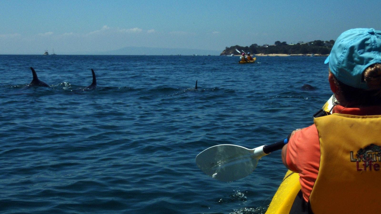Kayak the Dolphin Sanctuary Mornington Peninsula