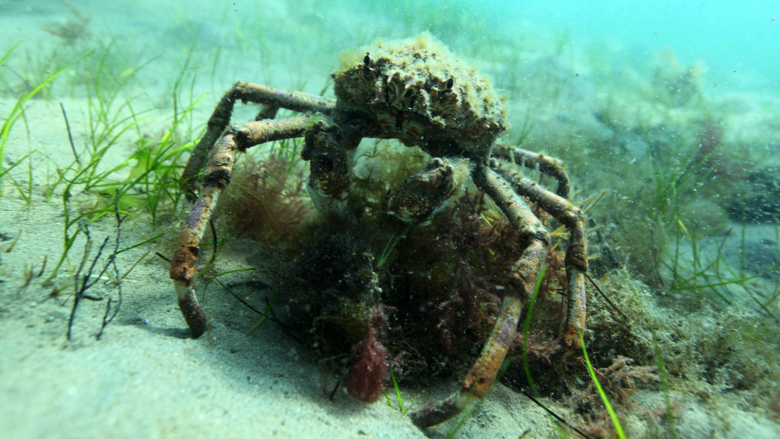 Spider crab on the march