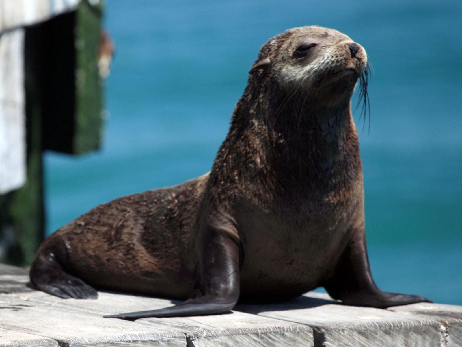 Australiasian Fur Seals