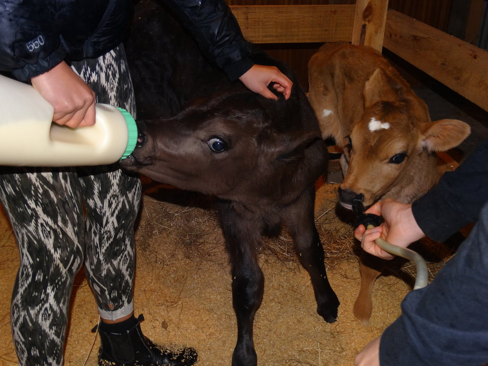 Feeding baby calves in the animal nursery