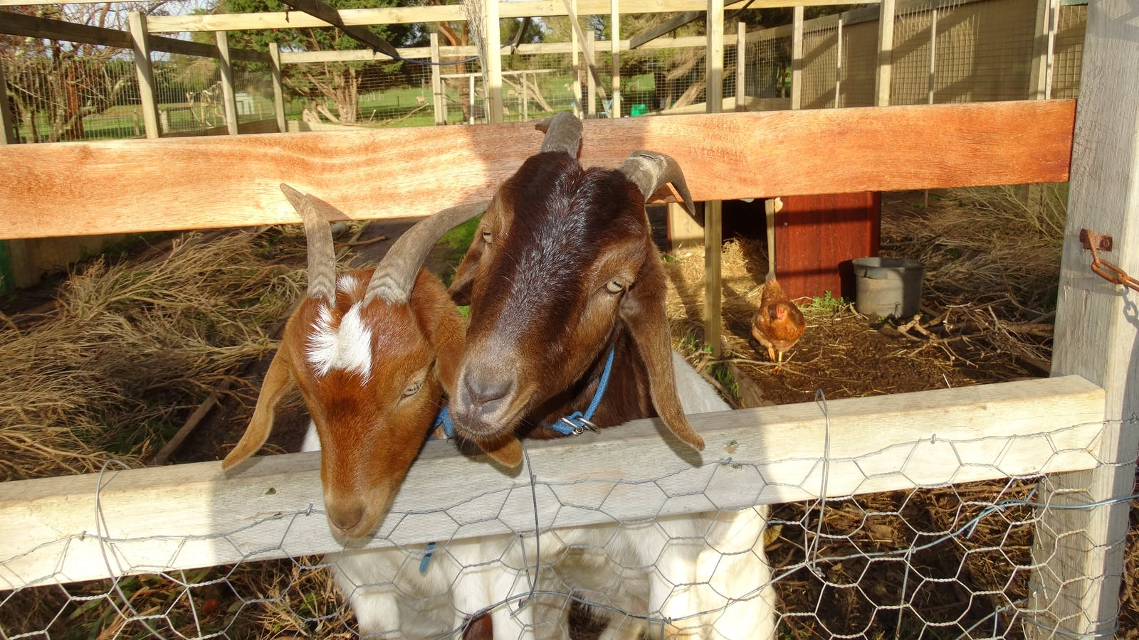 Meet Billie and Bertie the house goats