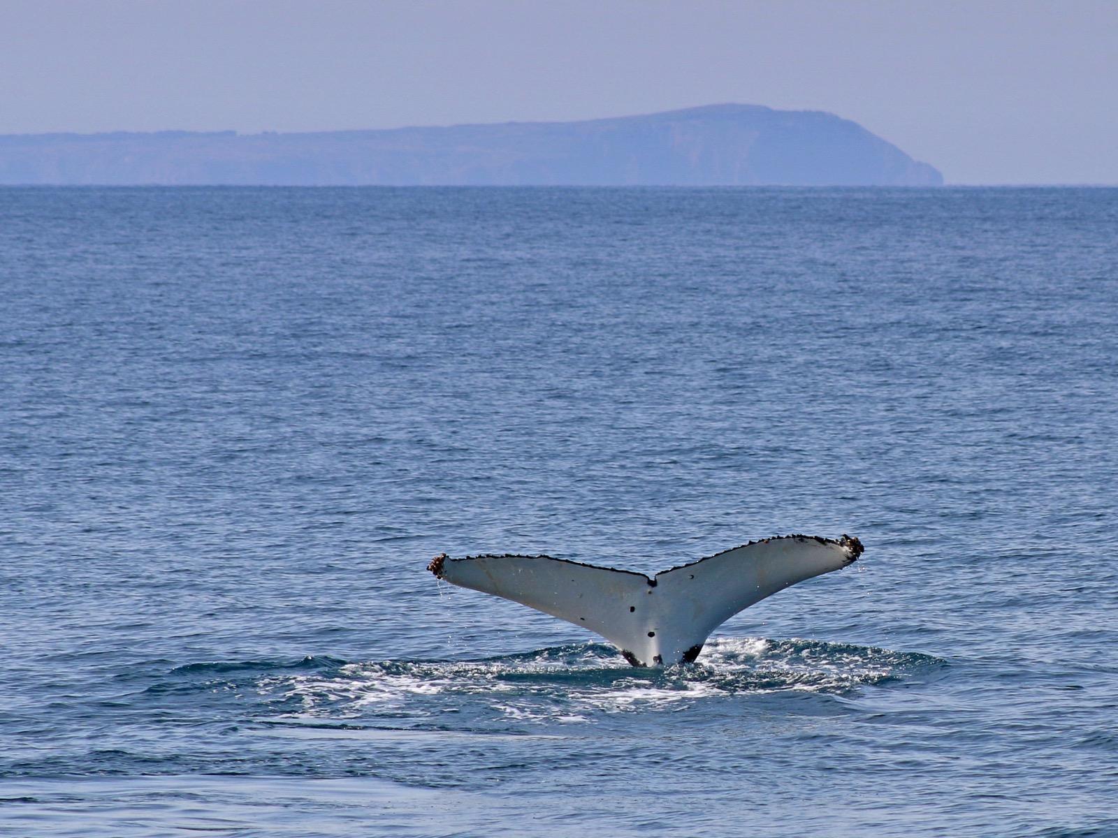 Humpback whale off Phillip Island