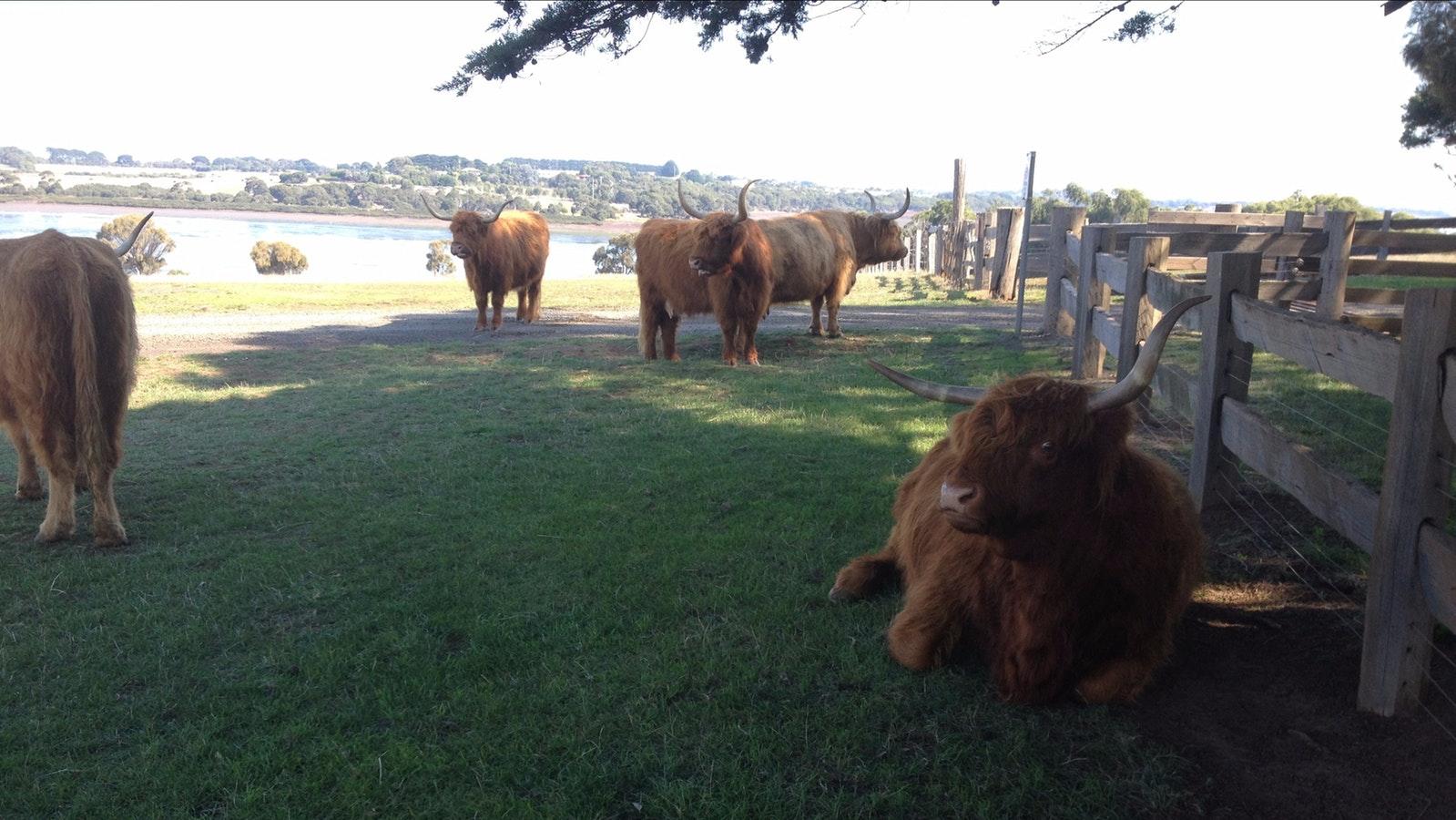 Highland cattle at Churchill Island