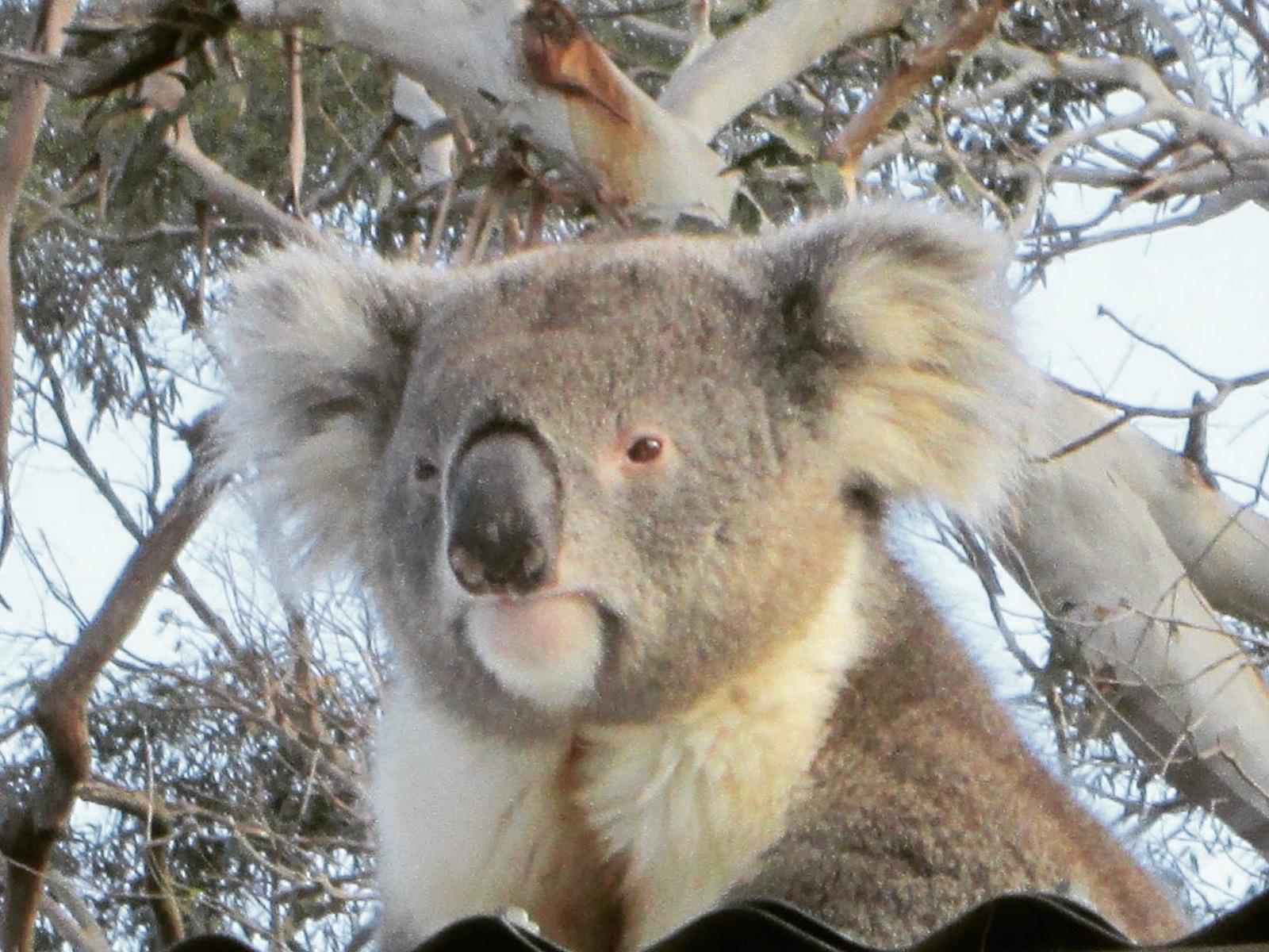 Koala Up Close