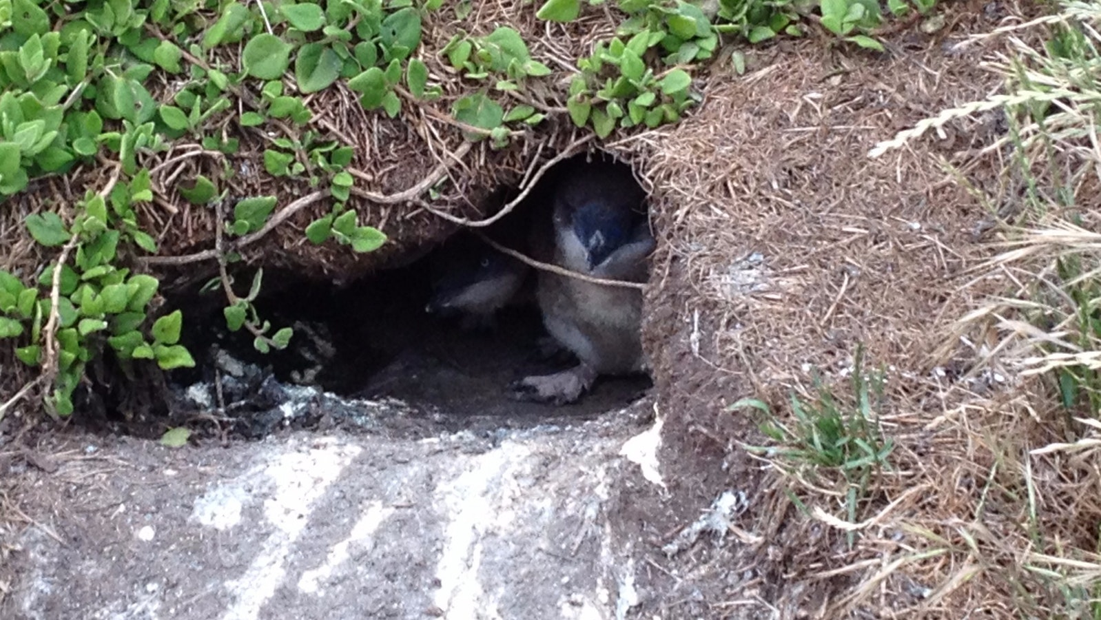 Two penguins in their burrow on Summerland Peninsula