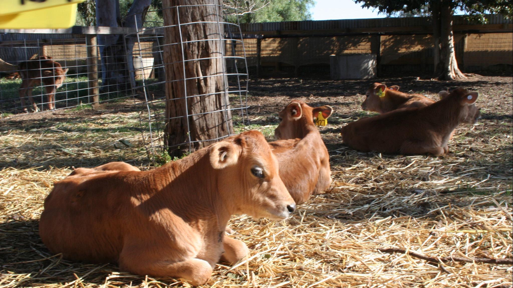 Baby calves enjoying the sunshine