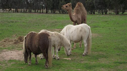 Ponies and Camel