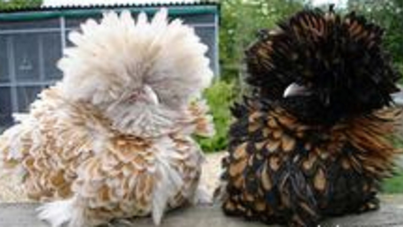 Frizzle Chicks